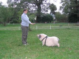 Séance d'éducation de cochon nain. Cochon nain, cochon vietnamien, mini cochon, cochon miniature désignent le meme type de cochon ! Attention aux arnaques ! - association GroinGroin