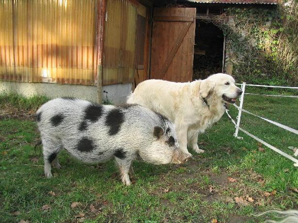 chien labrador à la recherche pour un couple