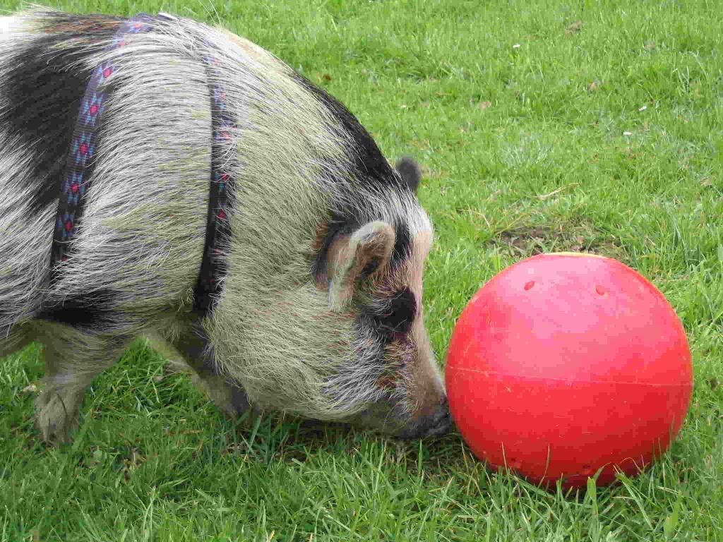 Balle à nourriture pour cochon