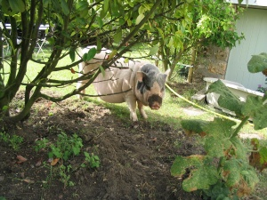 Trou de cochon nain, protection du massif par une cloture electrique. Cochon nain, cochon vietnamien, mini cochon, cochon miniature désignent le meme type de cochon ! Attention aux arnaques ! - association GroinGroin