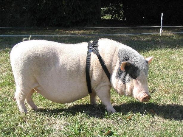 Harnais américain « spécial cochon nain »
