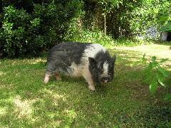 différent type de cochon nain- association GroinGroin