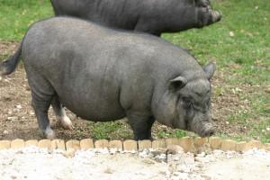 différent type de cochon nain - Haut sur pattes, peu poilu - association GroinGroin