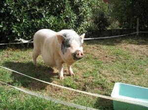 différent type de cochon nain - ventre bedonnant - poids 70 kg - association GroinGroin