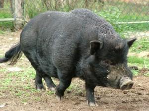différent type de cochon nain - Court sur pattes, très poilu - association GroinGroin