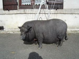 cochon vietnamien - association GroinGroin