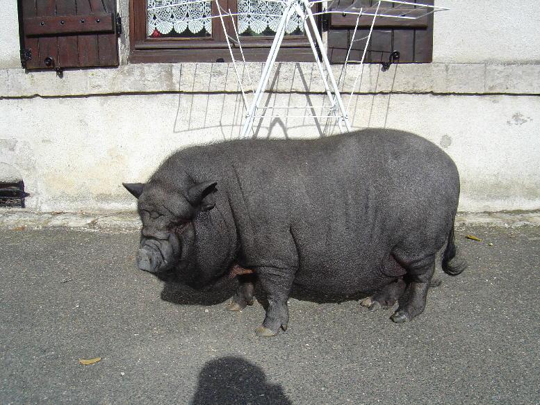 5f42114884 Races de cochon nain / vietnamien (en France)