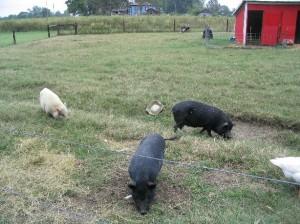 Cochon américain = Cochon vietnamien !! Identiques à ceux qu'on trouve chez nous !