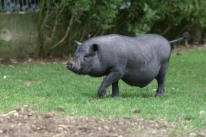 langage corporelle du cochon - association GroinGroin