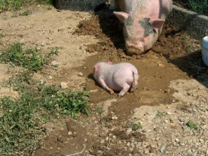 cochon qui se roule dans l'eau - association groingroin