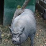 gratouilles d'un cochon