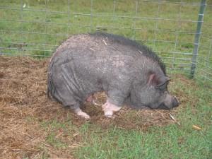 arthrose chez le cochon : Posture