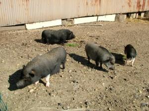 différents cochons vietnamiens - association GroinGroin