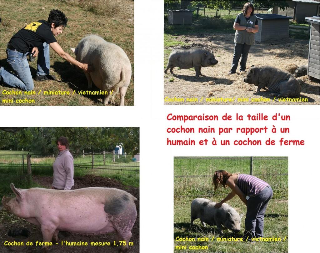 Comparaison taille d'un cochon nain avec celle d'un cochon de ferme. Cochon nain, cochon vietnamien, mini cochon, cochon miniature désignent le meme type de cochon ! Attention aux arnaques ! - association GroinGroin