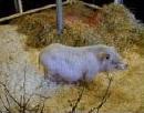 cochon de race Gottingen - association GroinGroin