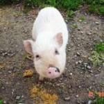 exemple de cochon dit de nouvelle calédonie (fausse race) - association GroinGroin