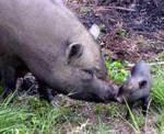 cochon de race Yucatan - association GroinGroin