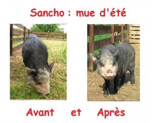 mue du cochon nain : photo avant et après la mue