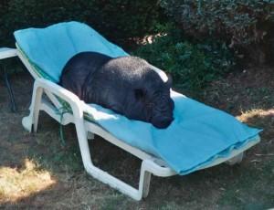 """différent type de cochon nain - Chloé, cochonne de race """"I"""" - association GroinGroin"""