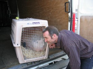 transporter un cochon en toute securité à l'aide d'une caisse de transport - Cochon nain, cochon vietnamien, mini cochon, cochon miniature désignent le meme type de cochon ! Attention aux arnaques ! - association GroinGroin