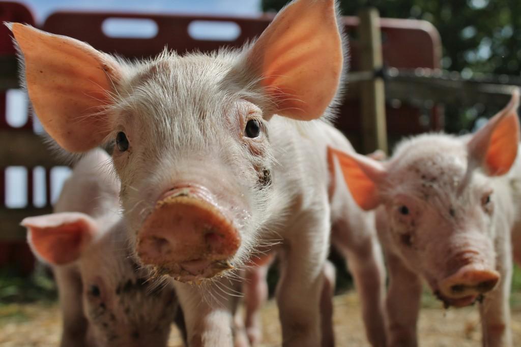 parrainer un cochon de ferme  u2013 sauvetage d u0026 39 un  u00e9levage