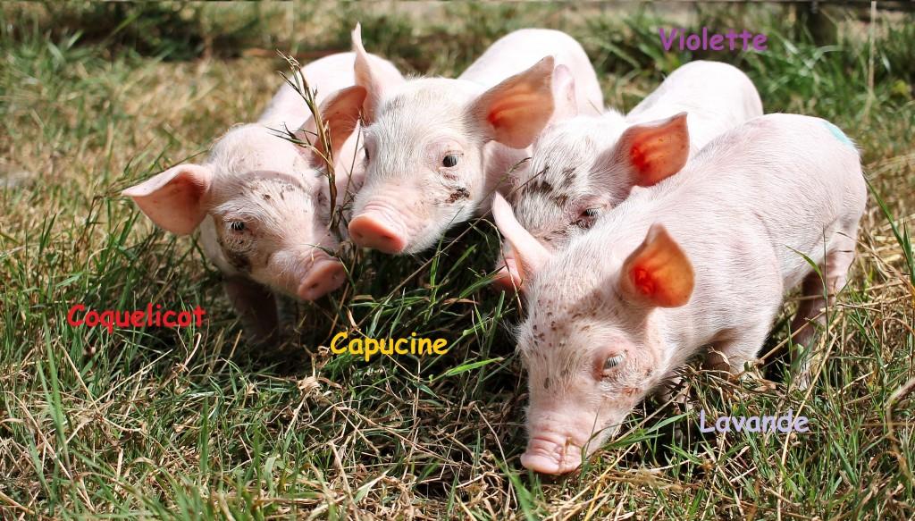 Parrainer un petit cochon sauvé d'un élevage industriel – Sauvetage L214 / GroinGroin