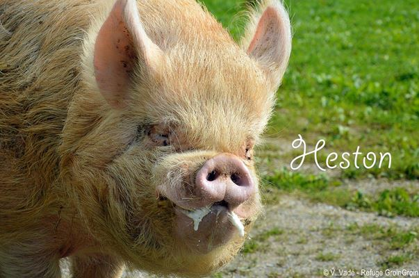 site de rencontre cochon d'inde Saint-Louis